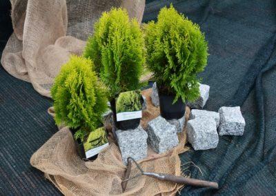 zywotnik-wschodni-aurea-nana