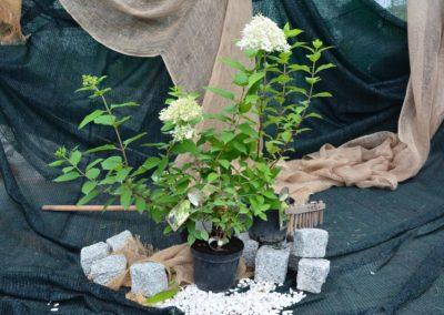 Hortensja bukietowa `Grandiflora`