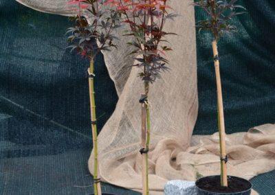 klon-palmowy-skeeter-broom