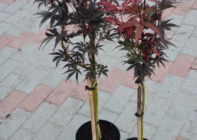 klon-palmowy-skeeters-broom