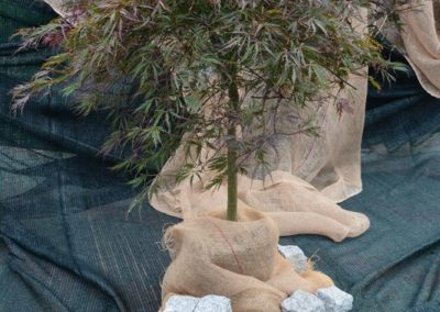 klon-palmowy-tamukeyama