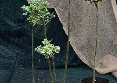 trzmielina-fortunea-emeraldn-gaiety