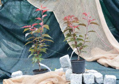 wisnia-pilkowana-royal-burgund